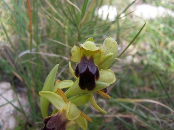 Orquídea por Ibi